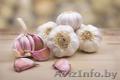 Семена чеснока из Польши оптом