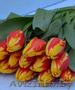Тюльпан и примула  к 8 марта